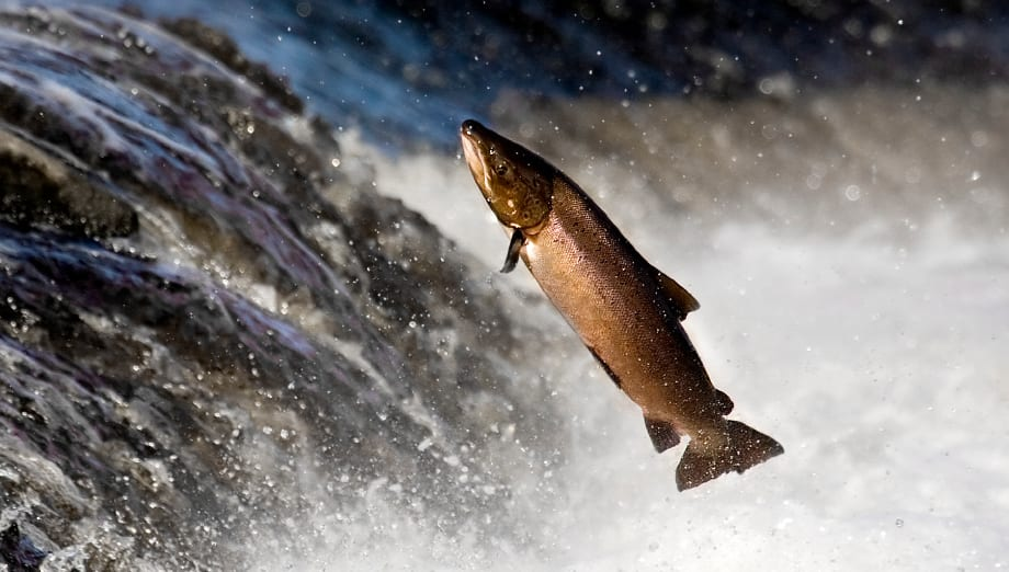Tell FDA to Halt Approval of GE Salmon Action Alert
