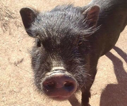Pot-Bellied Pigs Now Invasive Species in Michigan