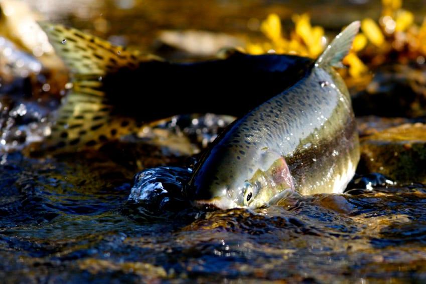 SalmonSwimming