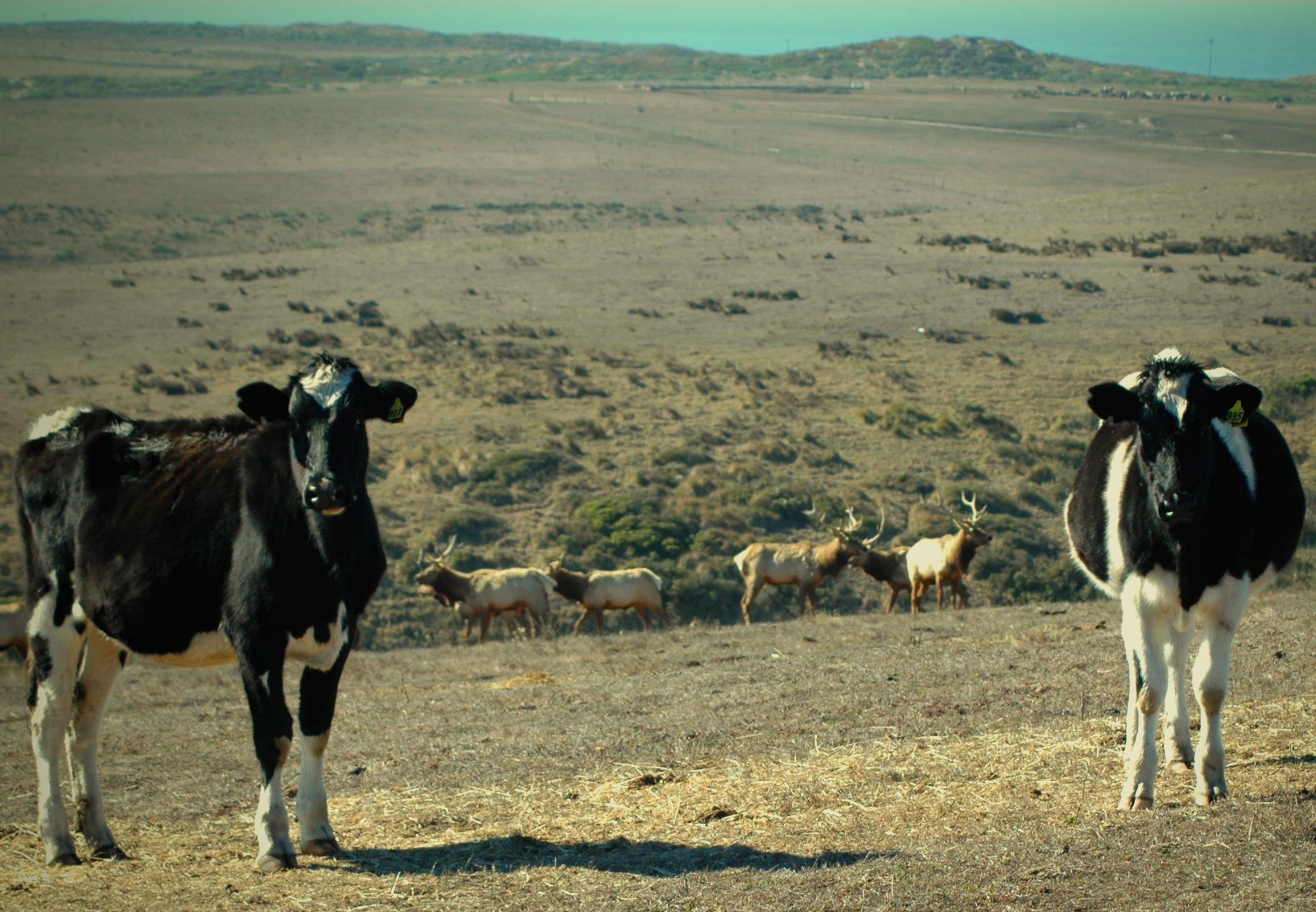 Tule Elk & Cows - Photo by Ann Miller #2