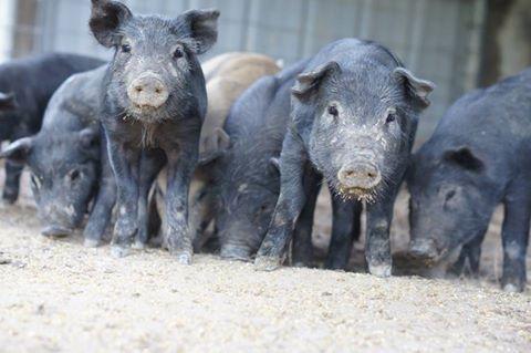 Member Photo Monday Piglets