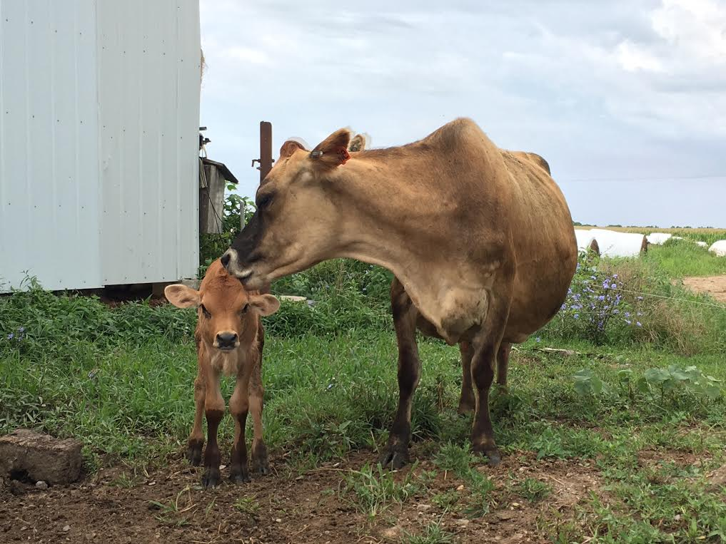 Member Photo Monday Jersey cow with calf
