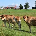 Houston Mountain Ranch Jersey Cows