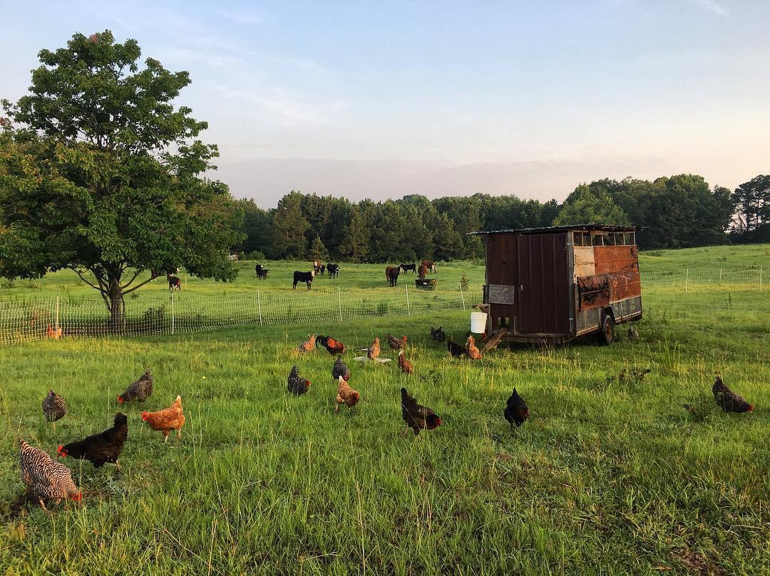 Triple J Farm chickens and cows