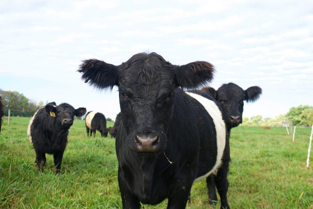 Windswept Grass Farm cows