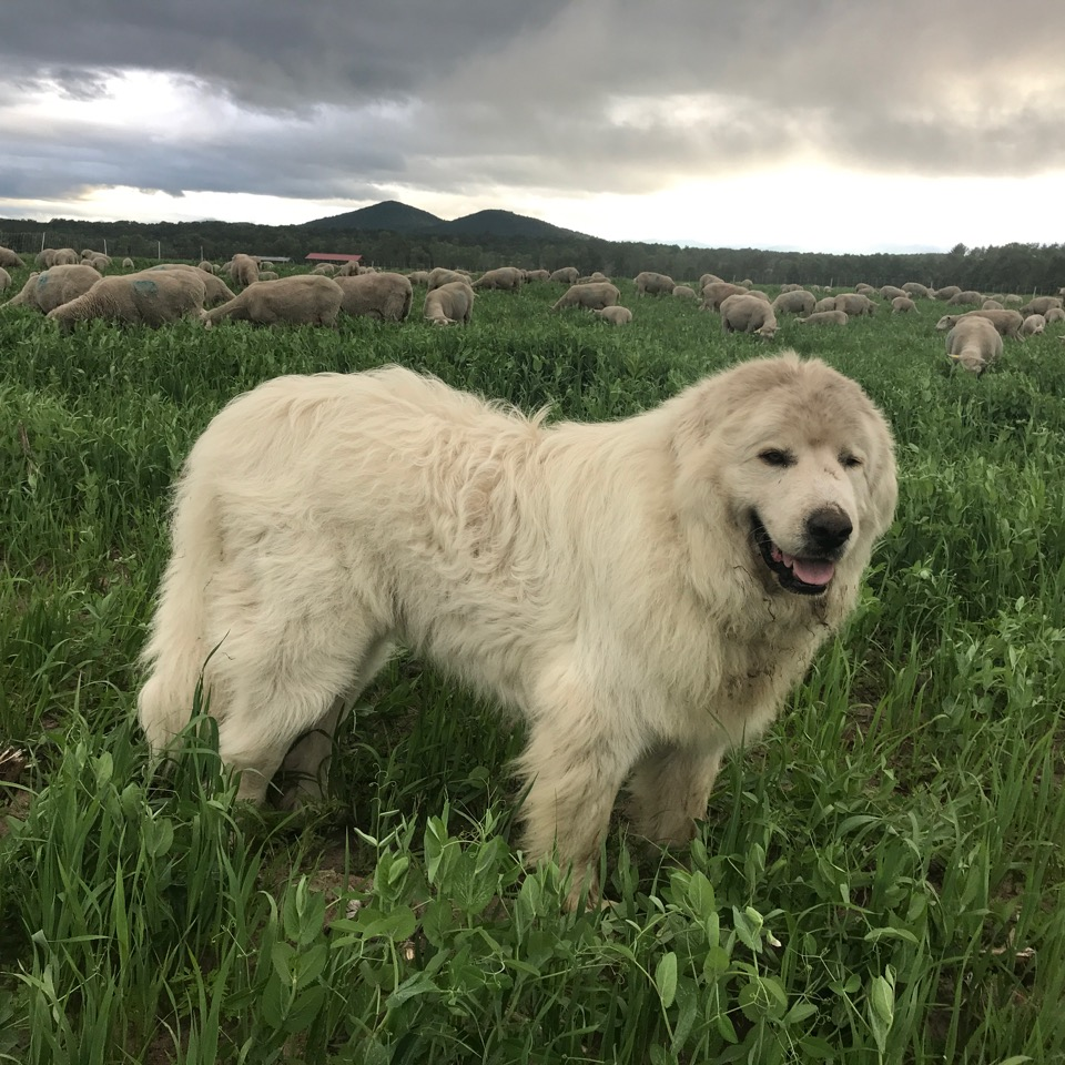 Farm dog and sheep