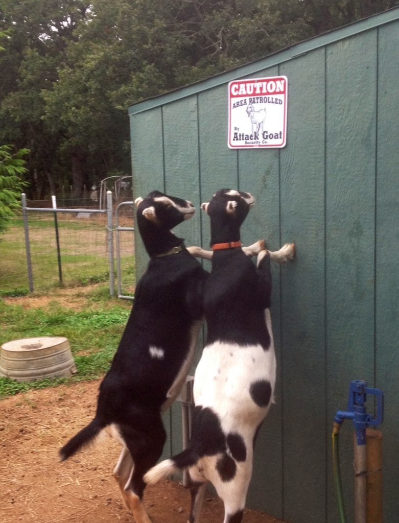 Goats looking at Attack Goat sign