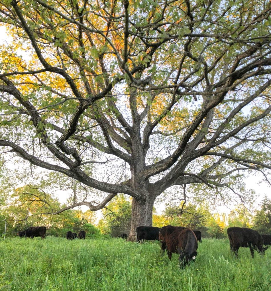 Cows and big tree