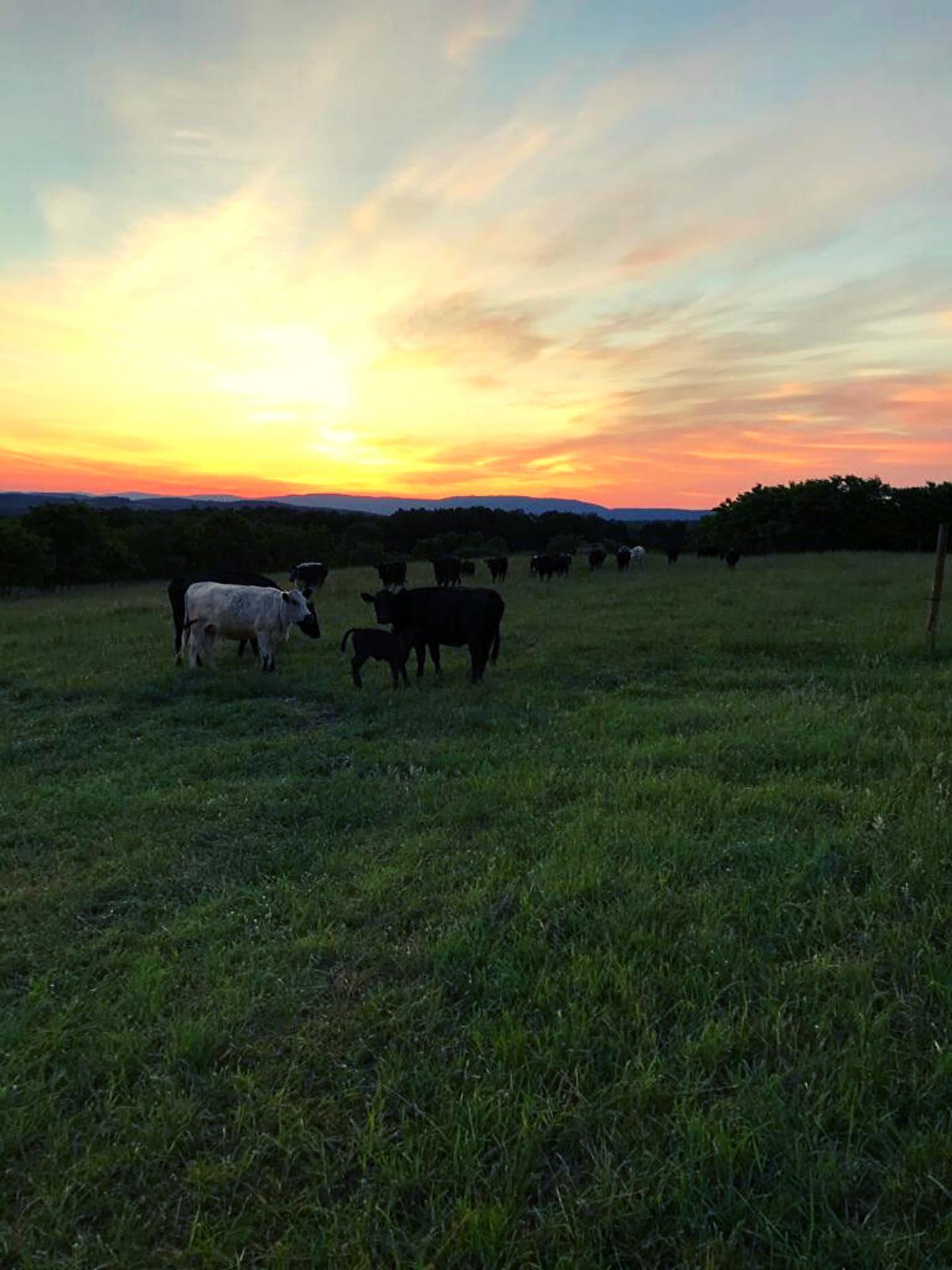 Triple E Farms Cows