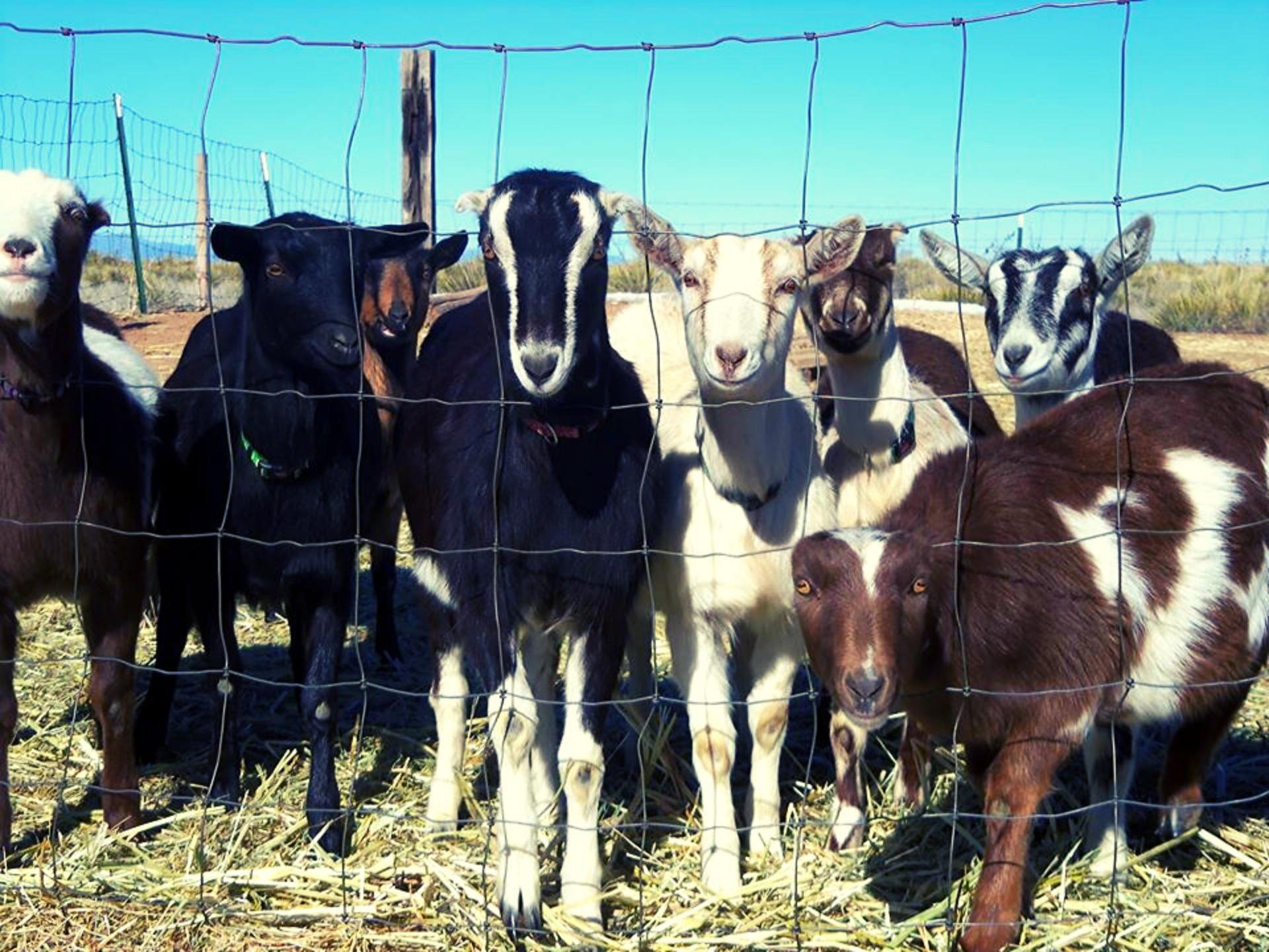 Branru Farms Goats