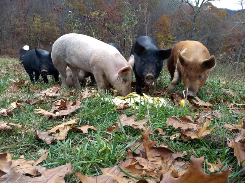 Ararat Farm Pigs