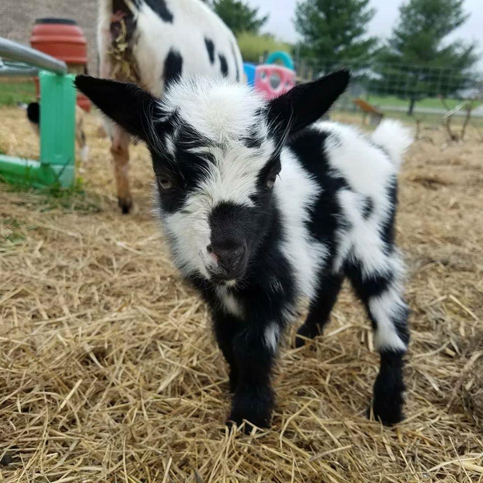 Cluckin Hay Acres Goat