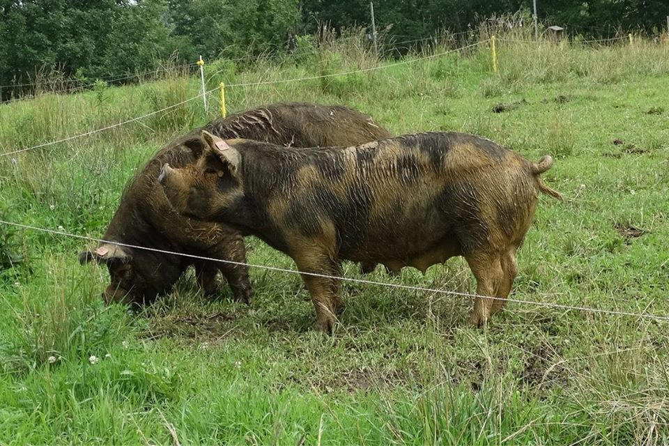 Abundant Green Pastures Pigs