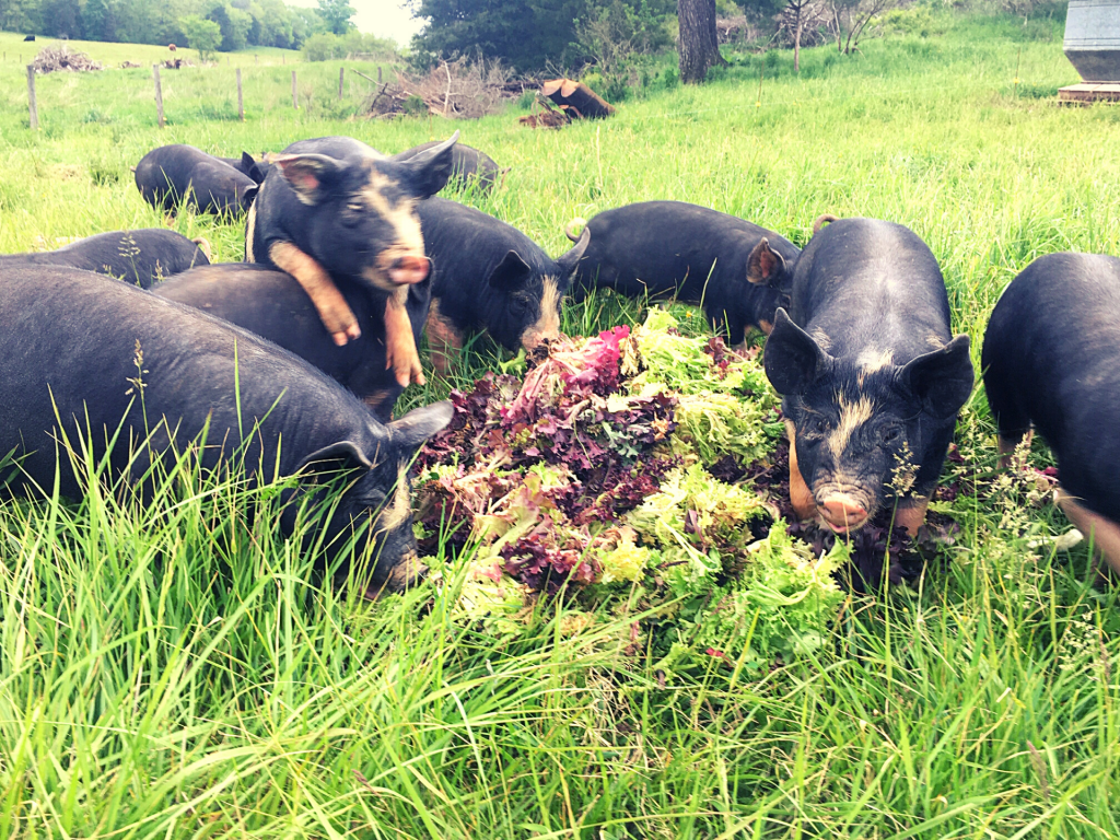 Verdant Acres Farm Berkshire Pigs