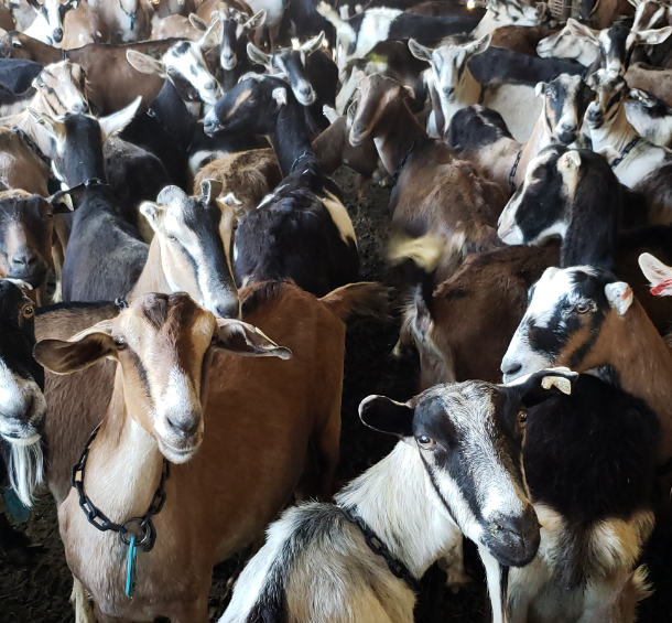 Goats Before Milking