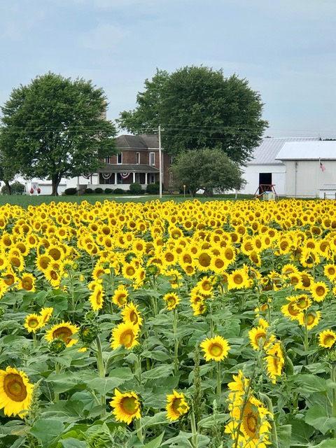Sunflowers at EAT Food for Life Farm