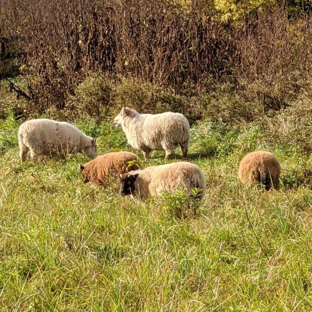 Livestock at Innisfree on the Stillwater