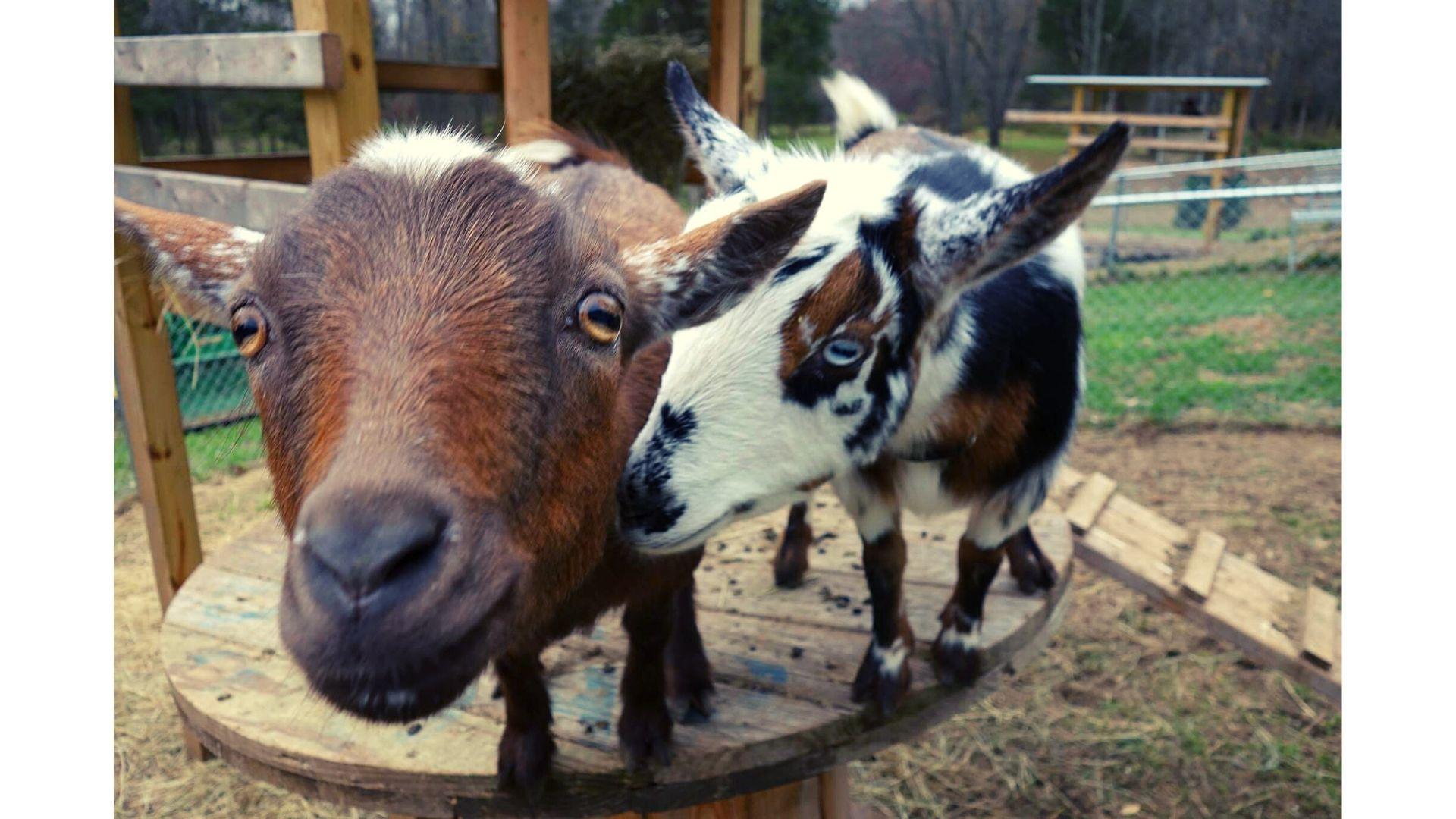 Mitten Acres Goats