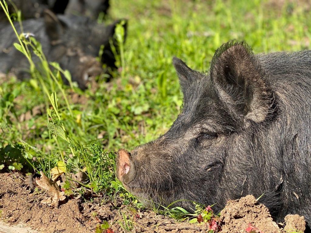 Tabula Rasa Farms hogs napping